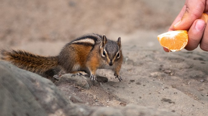 A Per Giving Orange Fruit To A Squirrel